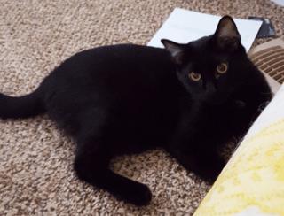 Lucas (Olulu) the black cat