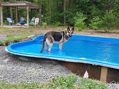 German shepherd standing on the tanning ledge of a fiberglass pool during installation