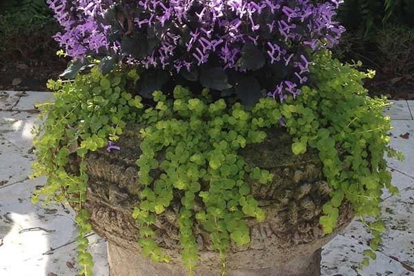 creeping jenny for fall landscaping