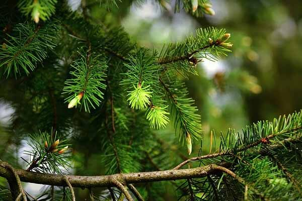 Evergreen trees for fall landscaping