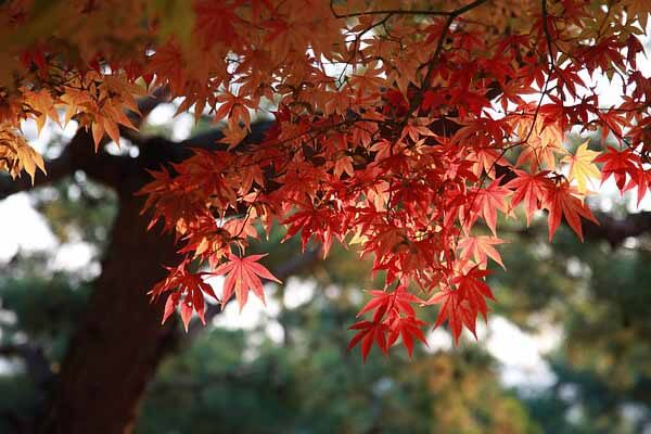Maple tree for fall landscaping